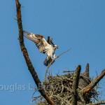 Osprey Nest 2011