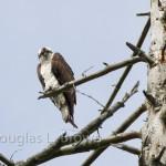 Osprey Nest 2012