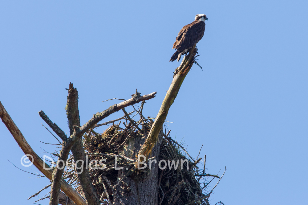 Osprey nest 2013