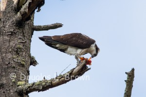 St. Clair Osprey nest 2013