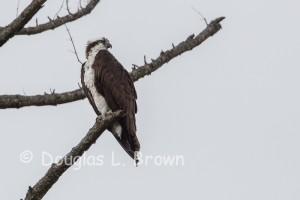 St.Clair Osprey nest 2013