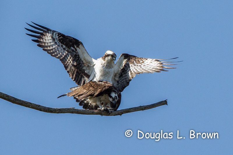 Ospreys mating * St. Clair nest