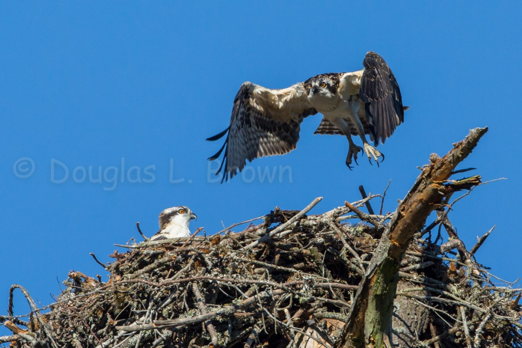 Fedgling Ospreys * St. Clair nest