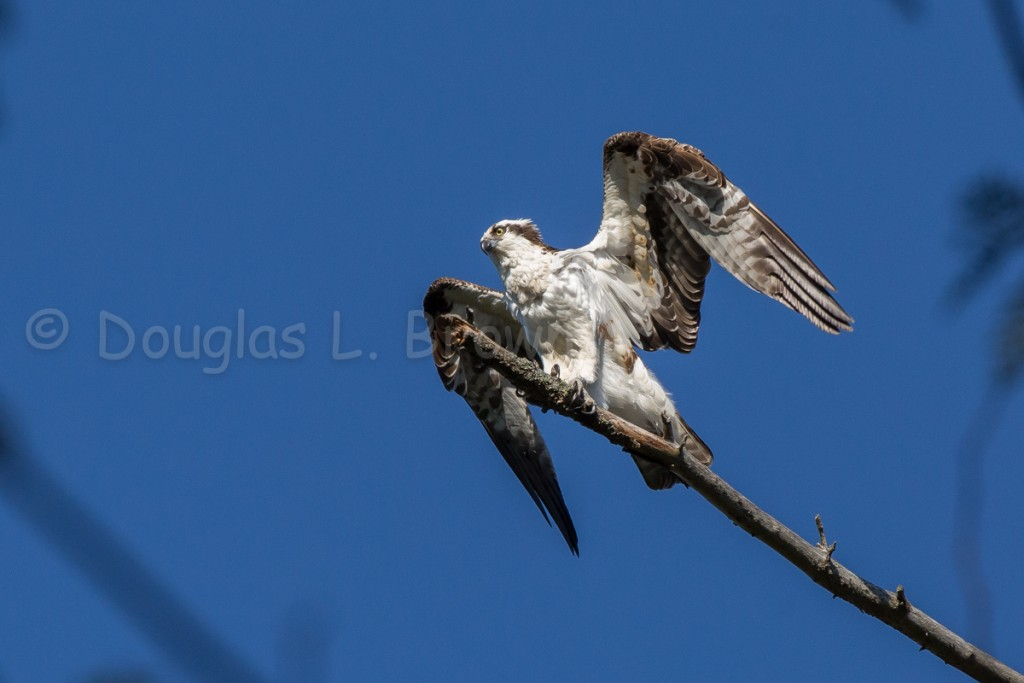 Male Osprey * St. Clair nest