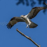 2015 St. Clair Osprey Nest