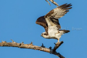Osprey * St. Clair Nest