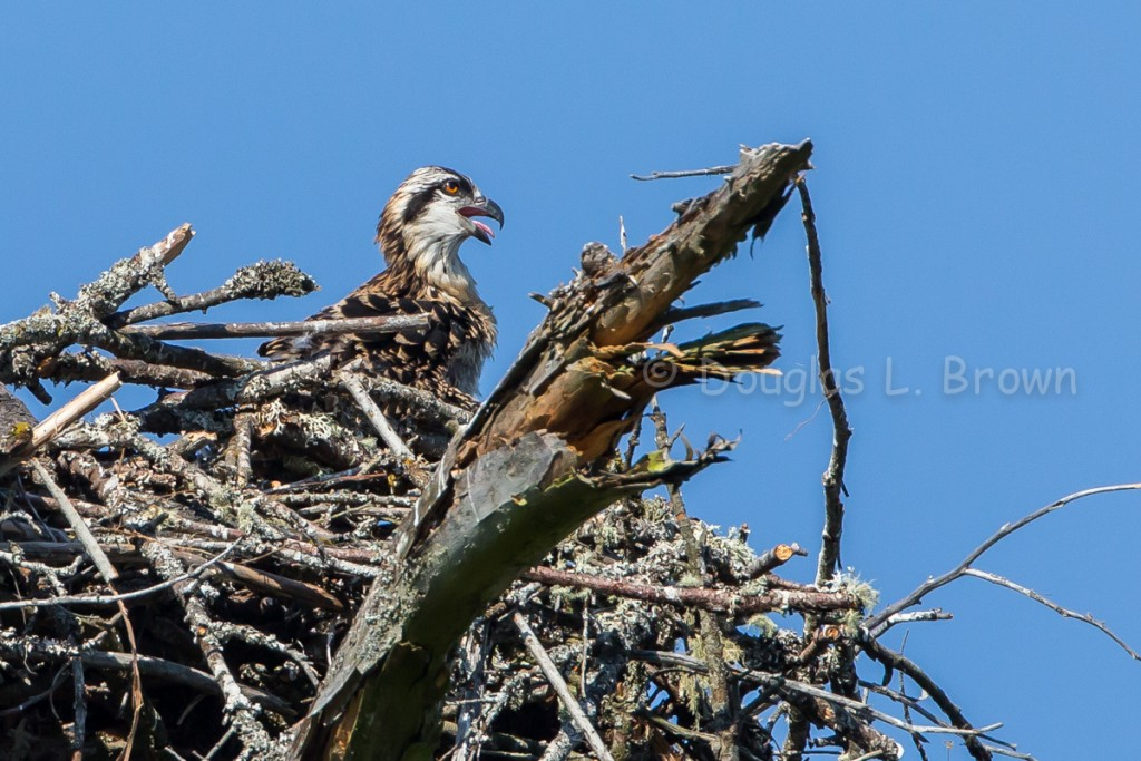 Osprey chick * St. Clair Nest