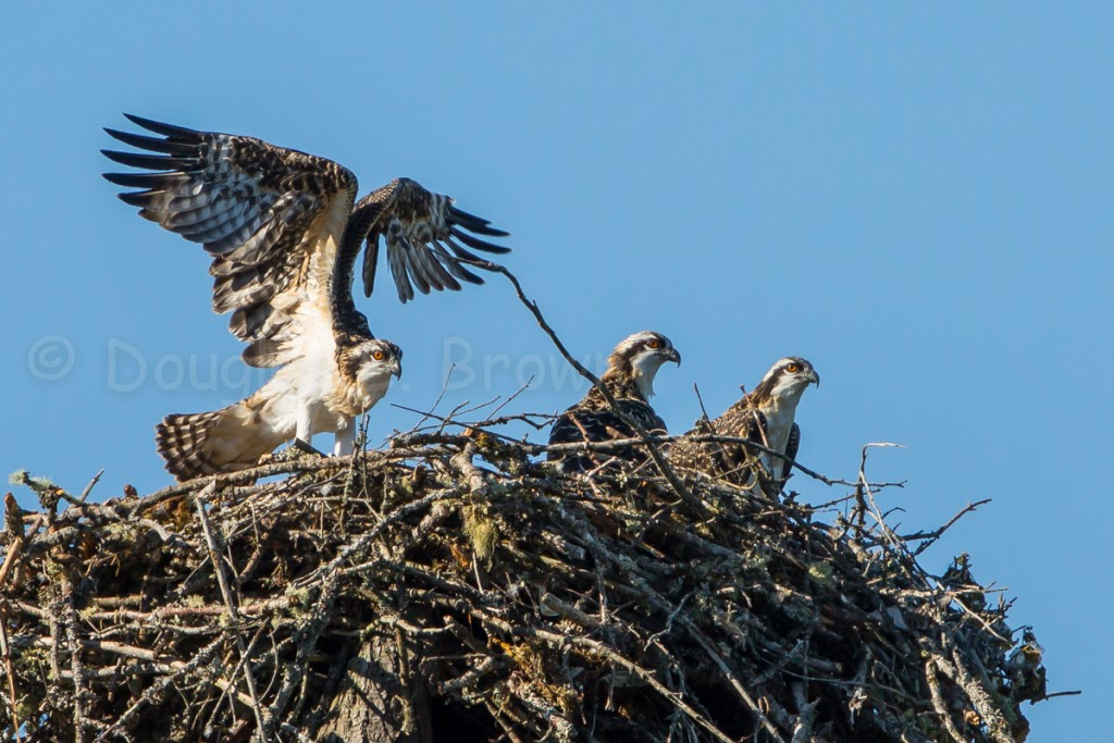 Three Osprey chicks