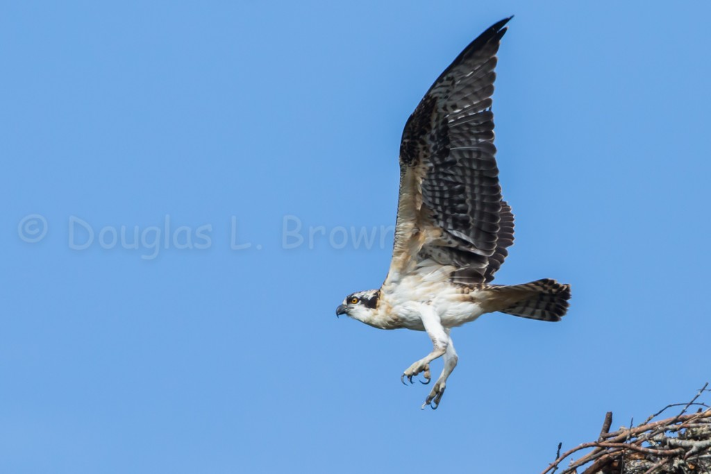 Fledgling Osprey * St. Clair nest