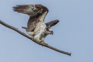 Female Osprey * St. Clair nest