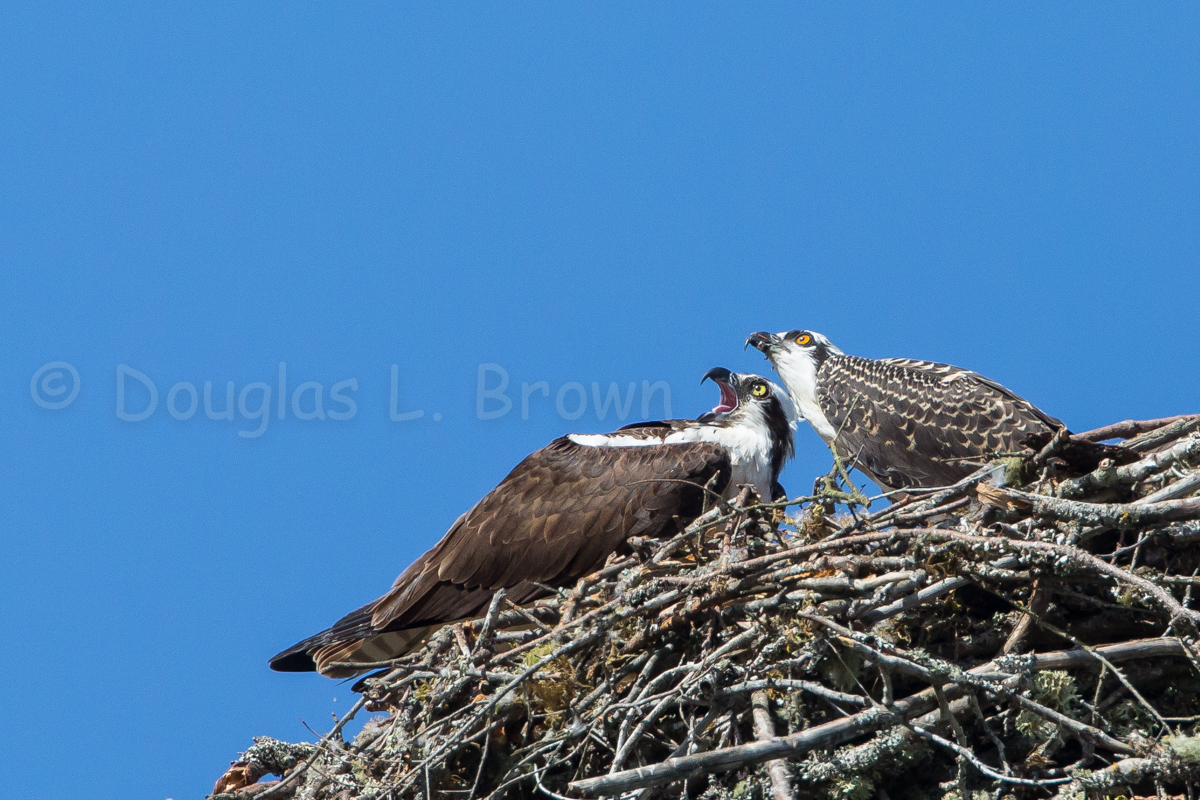 Ospreys * St. Clair Nest