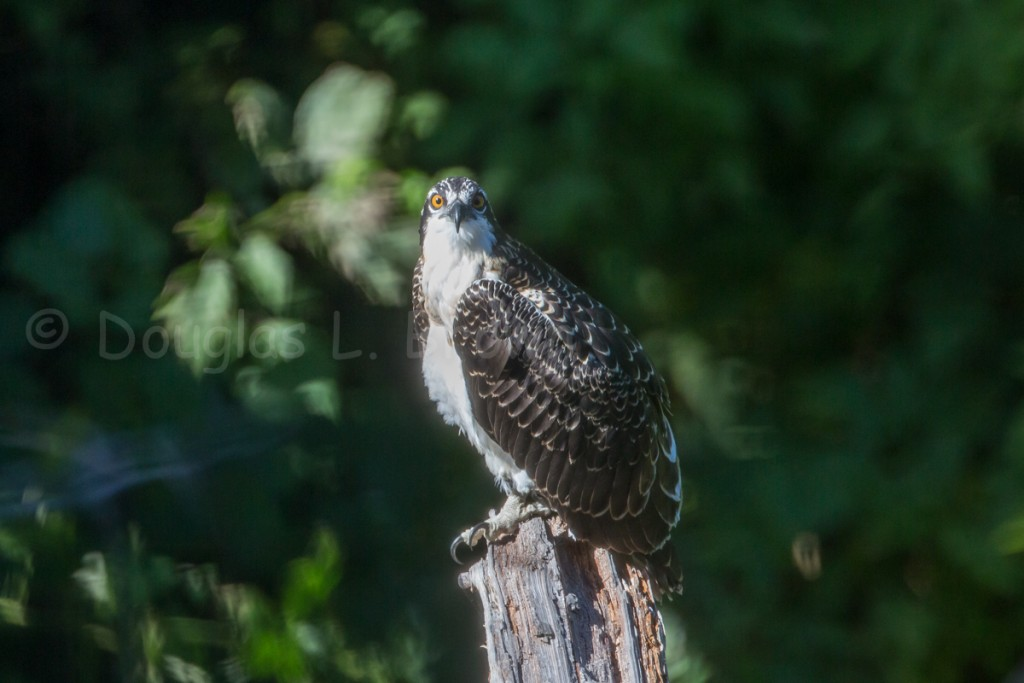 Fedgling Osprey * St. Clair nest