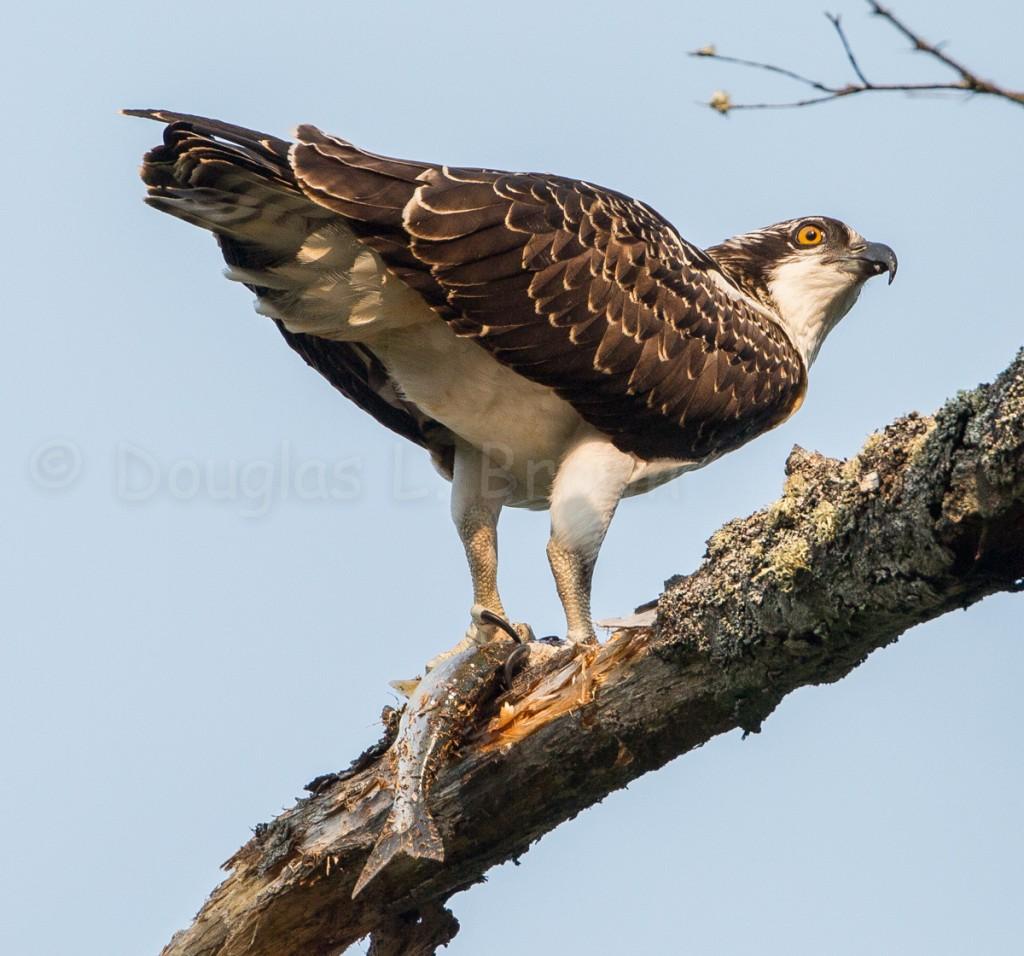 Juvenile Osprey * St. Clair nest