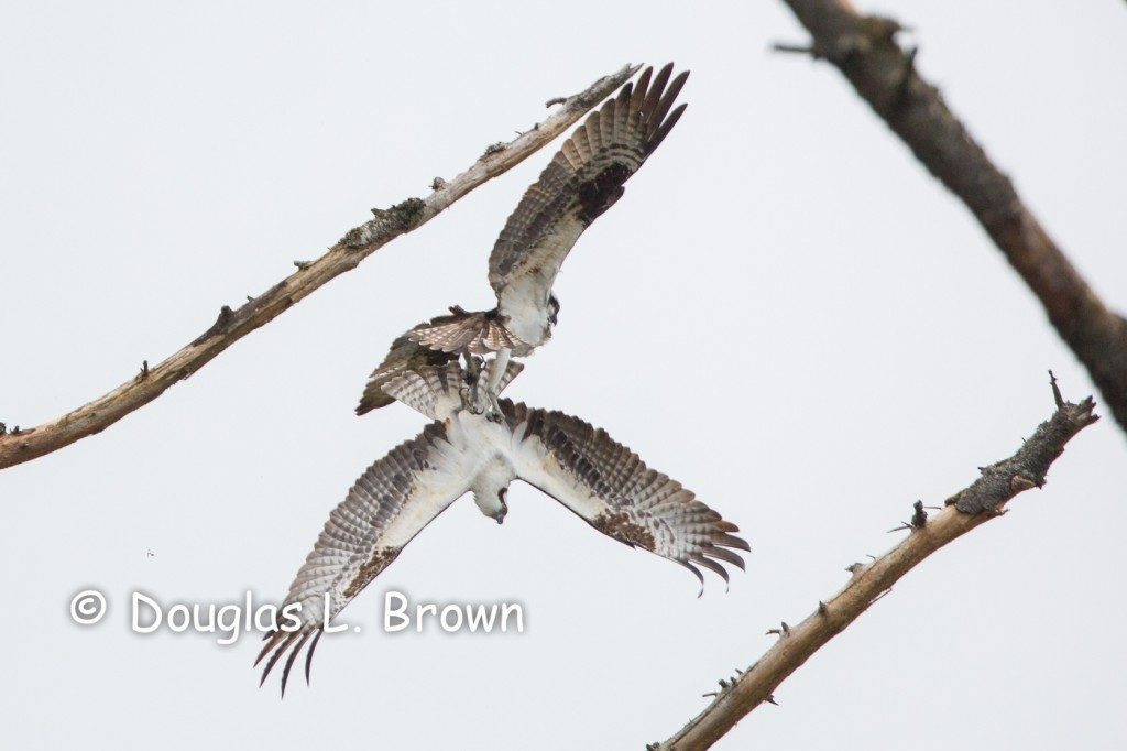 Ospreys * Whatcom Falls Park