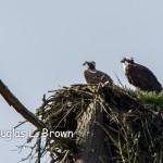 2016 St. Clair Osprey Nest